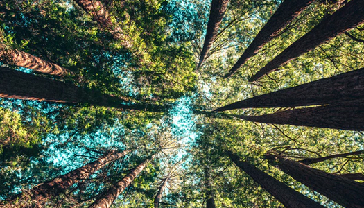 ground angle picture of pine trees